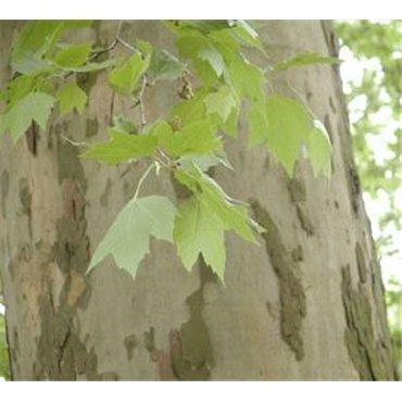Platanus acerifolia auf Stamm ( Ahornblättrige-Platane )