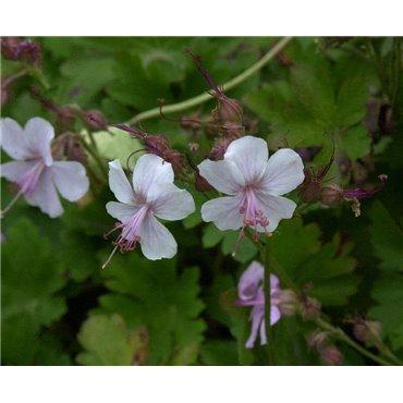 Geranium x cantabriengiense Biokovo (geranium vivaces)