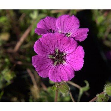 Geranium cinereum Splendens ( geranium vivace)