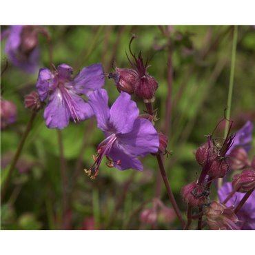 Geranium x cantabrigiense Karmina  ( Storchschnabel )