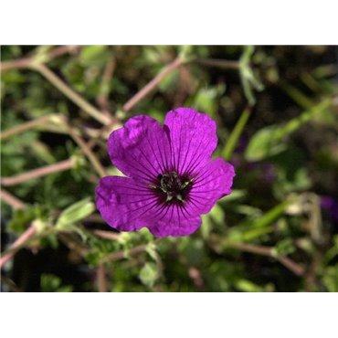 Geranium cinereum Giuseppi (geranium vivace)