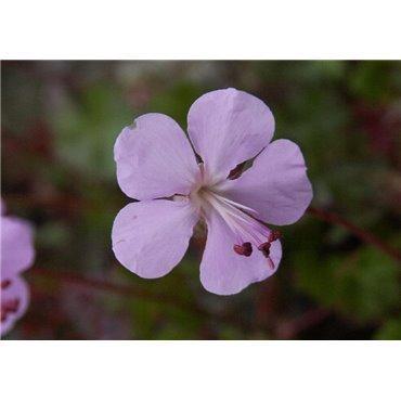 Geranium dalmaticum ( Storchschnabel)