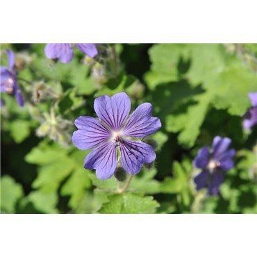 Geranium hilamayense Gravetye (geranium vivace)