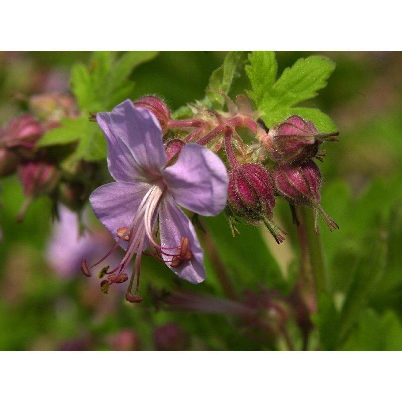 Geranium macrorrhizum Ingwersen's Variety  ( Storchschnabel )