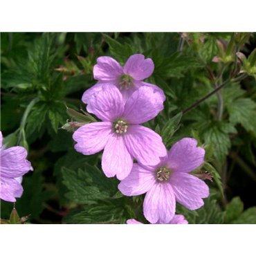 Geranium macrorrhizum Spessart (geranium vivace)
