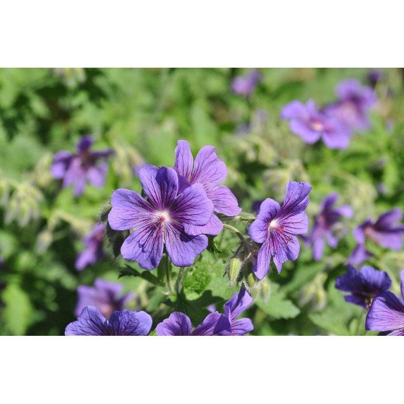 Geranium magificum (geranium vivace)