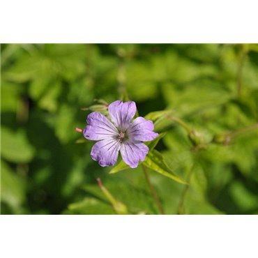 Geranium nodosum (geranium vivace)