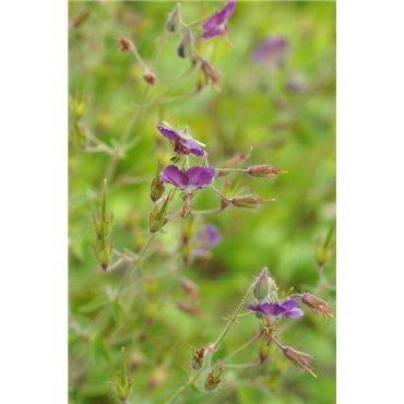 Geranium phaeum Samabor (geranium vivace)