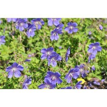 Geranium pratense Jhonsons Blue  ( Wiesen-Storchschnabel )