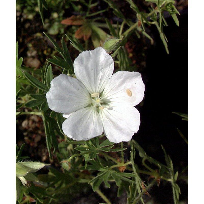 Geranium sanguineum Album ( Weisser Blutstorchschnabel )