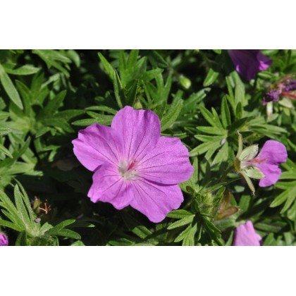 Geranium sanguineum Max Frei (geranium sanguin)