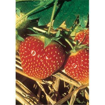 Erdbeere Polka