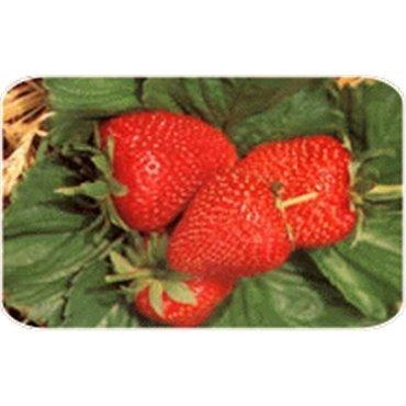Erdbeere Thuchampion