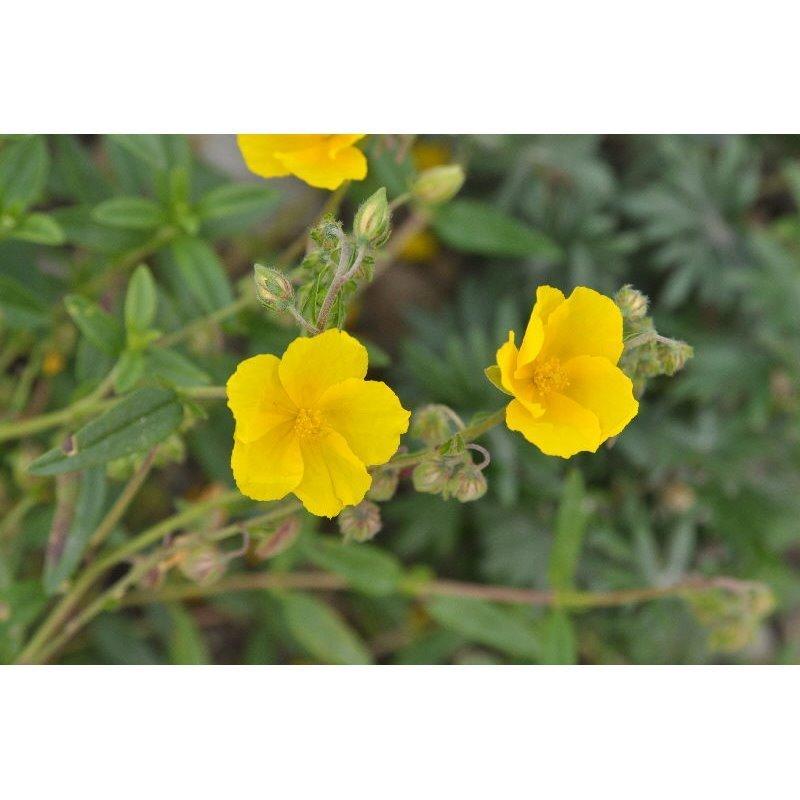 Helianthemum Hybrides Golden Queen (hélianthème)