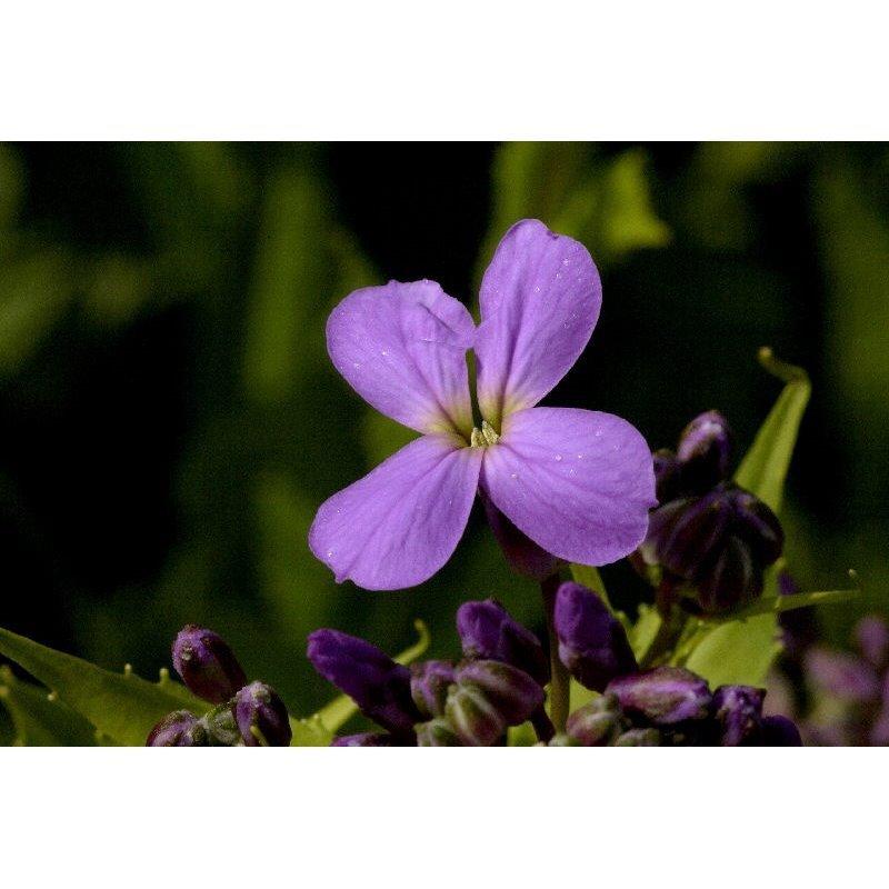Hesperis matronalis (julienne des dames)