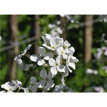 Hesperis matronalis Alba  ( Nachtviole )