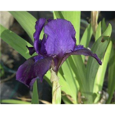 Iris pumila Little Shadow (iris nain)