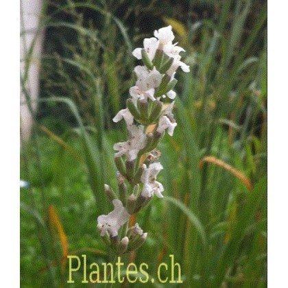 Lavandula angustifolia Edelweiss (lavande blanche)