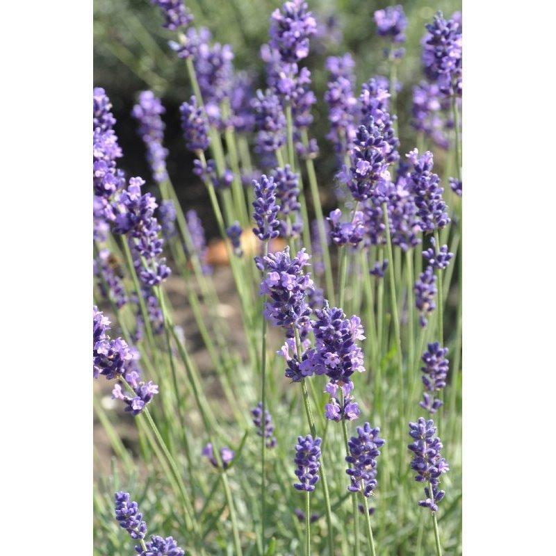 Lavandula angustifolia Hidcote Blue ( Echter blauer Lavendel )