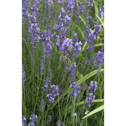 Lavandula angustifolia  Munsted ( echter Lavendel )