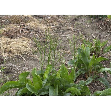 Limonium latifolium (lavande de mer)