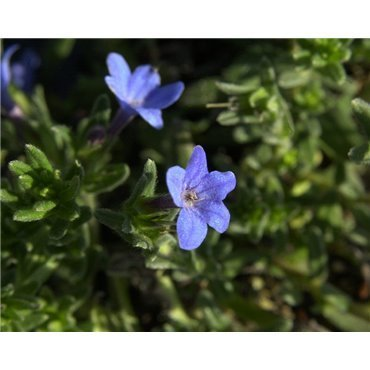 Lithodora diffusa Heavenly Blue ( Steinsamen )