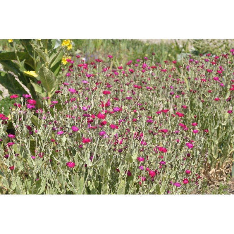 Lychnis coronaria coquelourde des jardin - Coquelourde des jardins lychnis coronaria ...