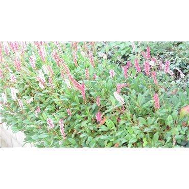 Persicaria affinis ( Schneckenknöterich )