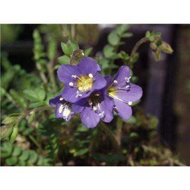Polemonium reptans ( Panaschierte Jakobsleiter )