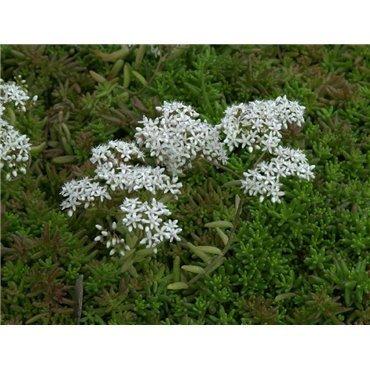 Sedum album Coral Carpet (orpin blanc)