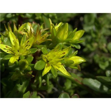 Sedum floriferum Weihenstephaner Gold (orpin)