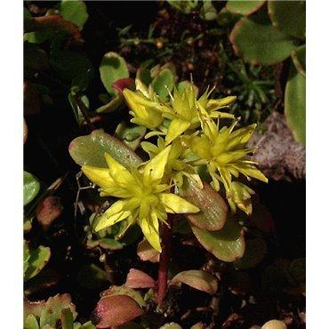 Sedum hybride Immergrünchen (orpin)
