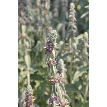 Stachys bysantina Silver Carpet  ( Wolliger Ziest )