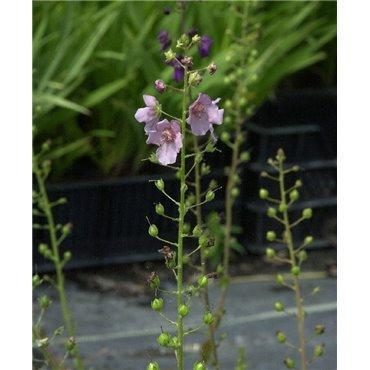 Verbascum phoenicum (molène)