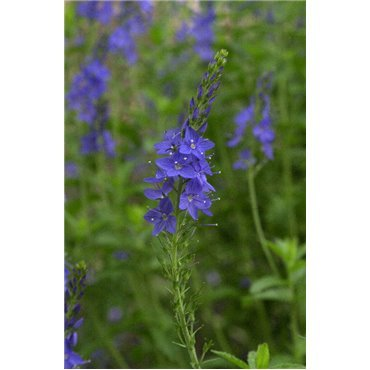 Veronica austrica Royal Blue