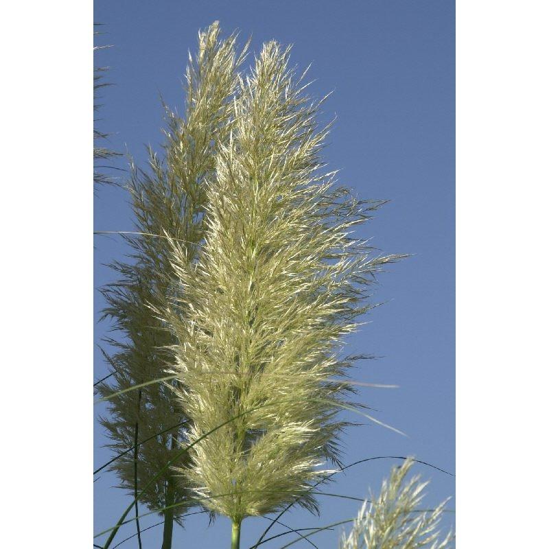 Cortaderia selloana ( Pampasgras )
