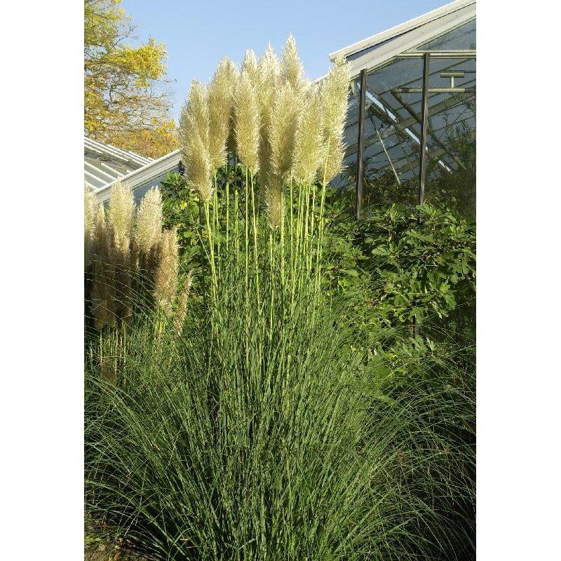 Cortaderia selloana pumila herbe de la pampa naine - Herbe de la pampa en pot ...