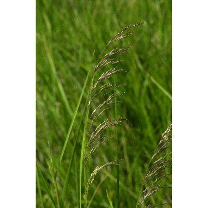 Deschampsia cespitosa ( Waldschmiele )