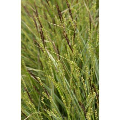 Carex morrowii Variegata ( Japansegge )