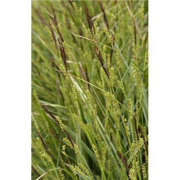 Carex morrowii Variegata (laîche)