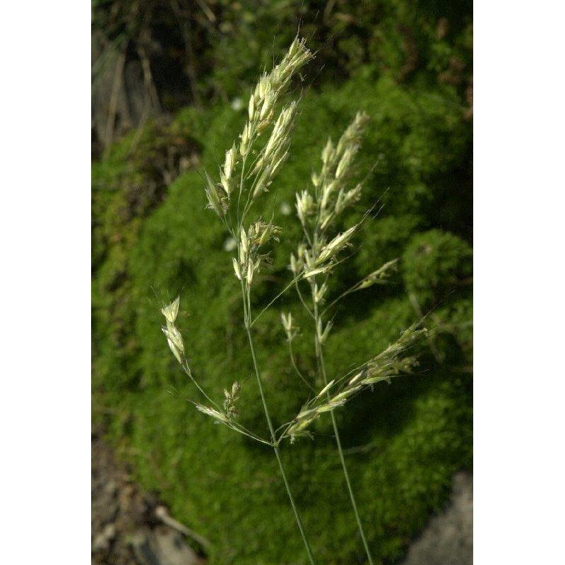 Helictotrichon sempervirens (avoine vivace)