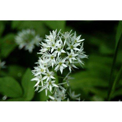 Allium ursinum ( Bärlauch )