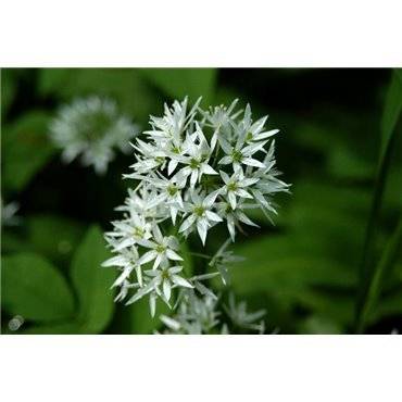 Allium ursinum (ail des ours)