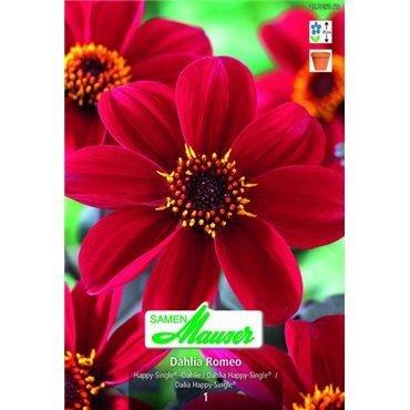 Dahlia Happy Single Romeo (25226163)