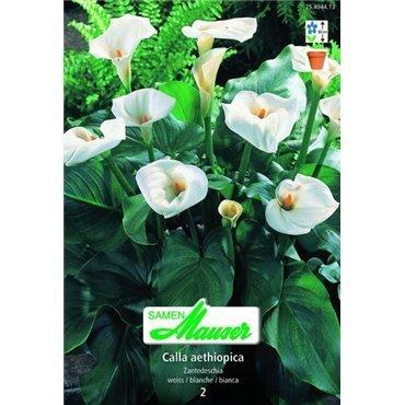 Calla hybride blanc (25404413)