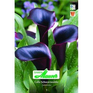 Calla hybride Schwarzwalder (25404483)