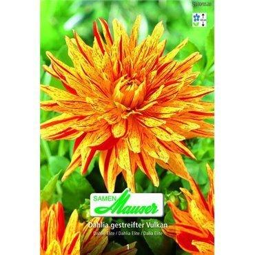 Dahlia Elite à fleurs géantes (25184653)