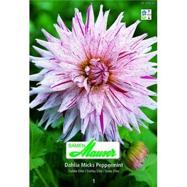 Dahlia Elite Micks Peppermint (25185253)