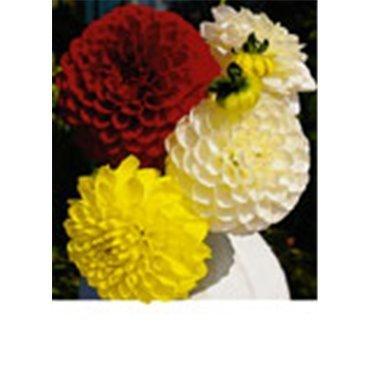 Dahlia boule géante mélange blanc, jaune, rouge (25217293)