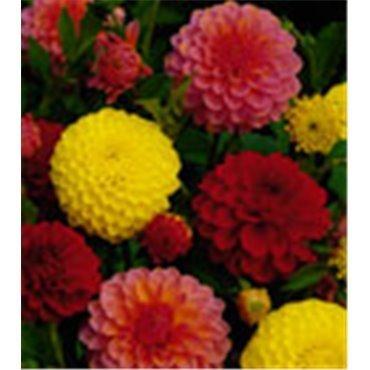 Dahlia boule mélange jaune/rose/rouge (25216893)
